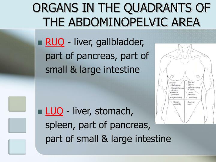 ORGANS IN THE QUADRANTS OF THE ABDOMINOPELVIC AREA