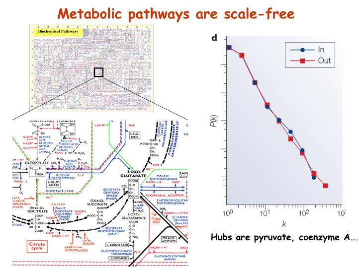 Metabolic pathways are scale-free