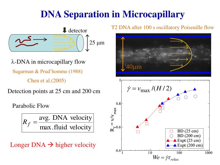 DNA Separation in Microcapillary