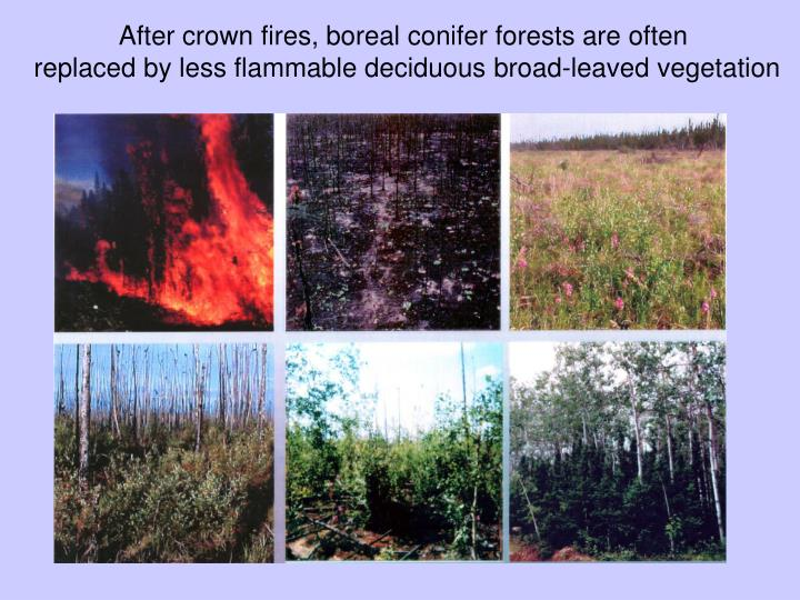 After crown fires, boreal conifer forests are often