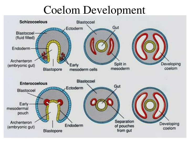 Coelom Development