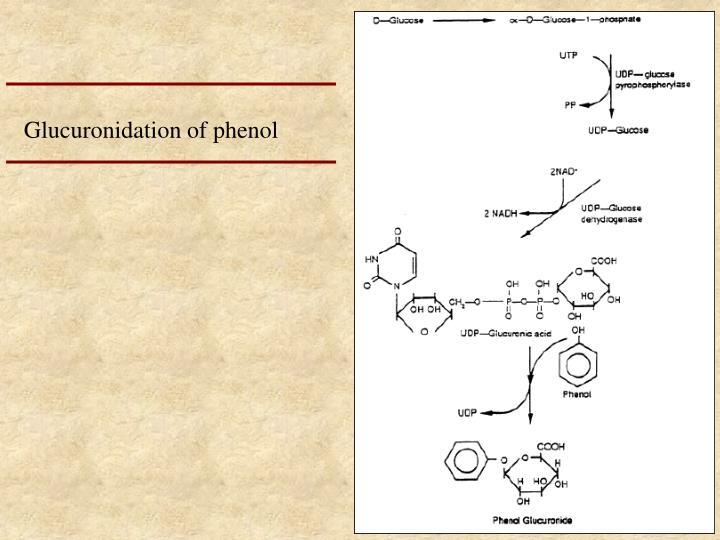 Glucuronidation of phenol