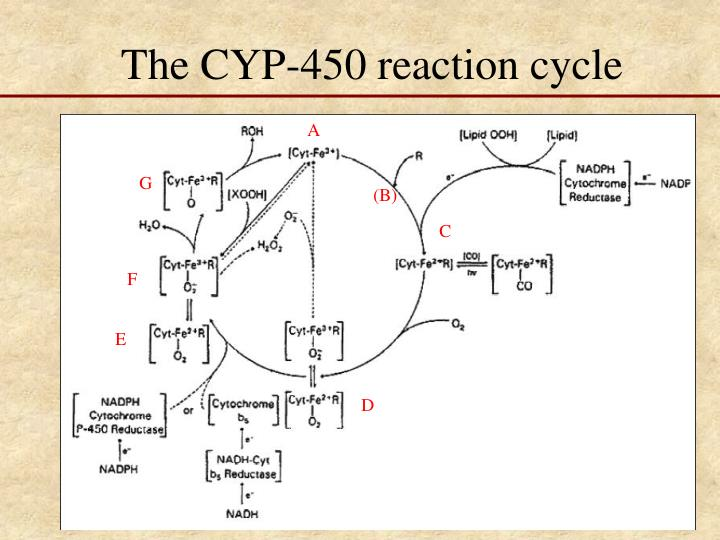 The CYP-450 reaction cycle