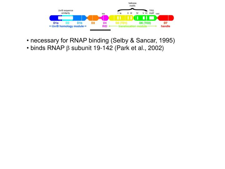• necessary for RNAP binding (Selby & Sancar, 1995)