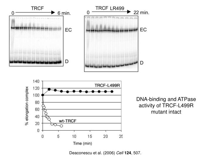 DNA-binding and ATPase activity of TRCF-L499R mutant intact