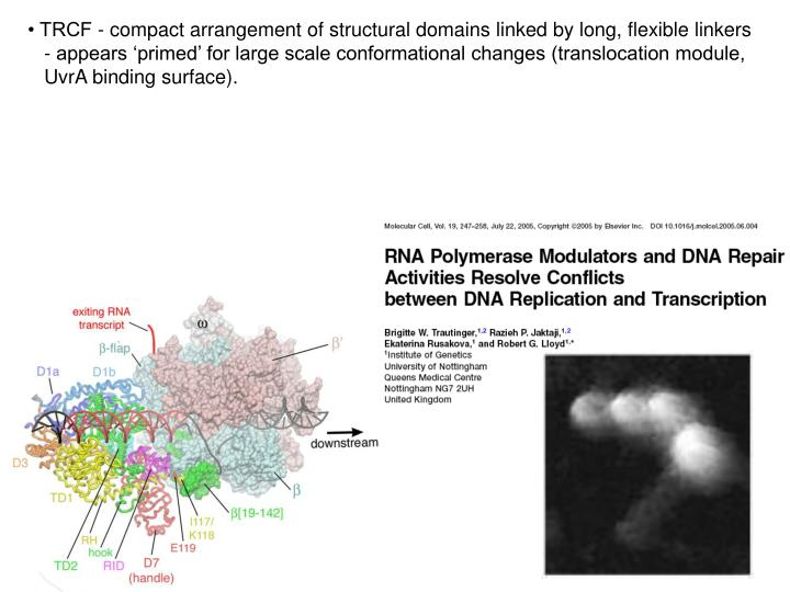 • TRCF - compact arrangement of structural domains linked by long, flexible linkers - appears 'primed' for large scale conformational changes (translocation module, UvrA binding surface).