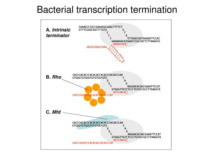 Bacterial transcription termination