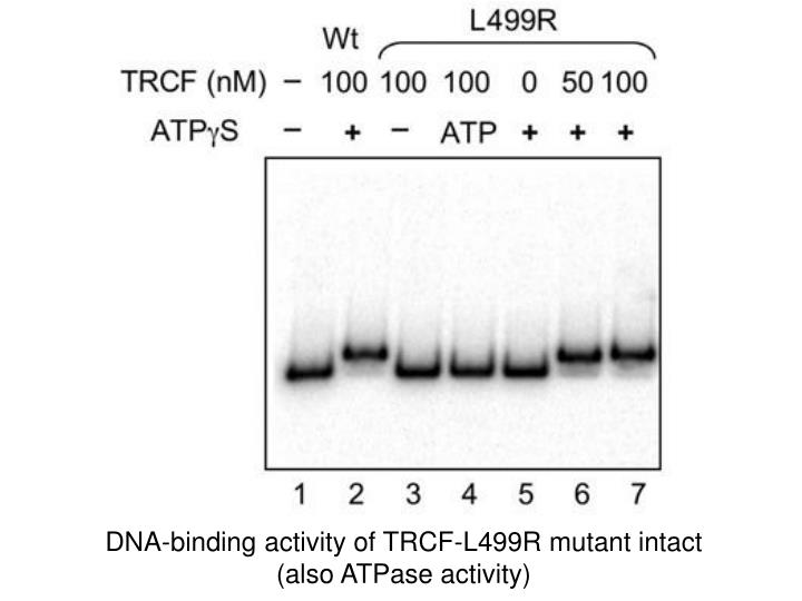 DNA-binding activity of TRCF-L499R mutant intact