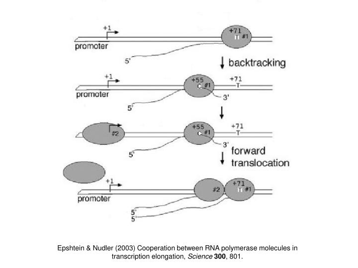 Epshtein & Nudler (2003) Cooperation between RNA polymerase molecules in transcription elongation,
