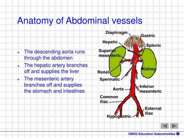 The descending aorta runs through the abdomen