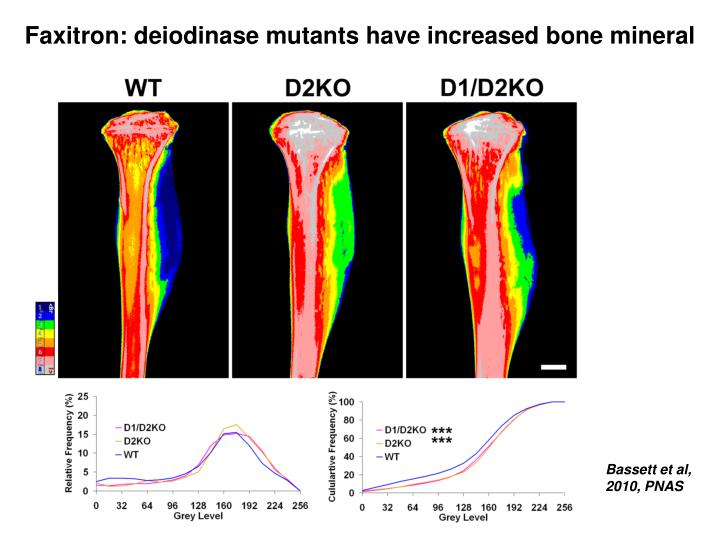 Faxitron: deiodinase mutants have increased bone mineral