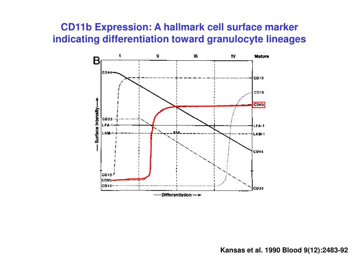 CD11b Expression: A hallmark cell surface marker indicating differentiation toward granulocyte lineages