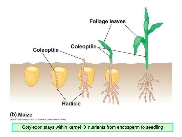 Cotyledon stays within kernel