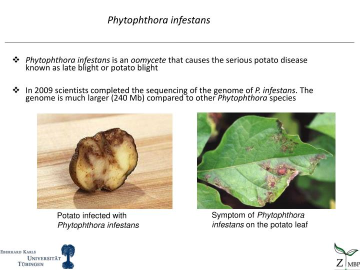 Phytophthora infestans