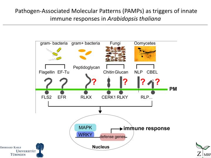 Pathogen-Associated Molecular Patterns (PAMPs) as triggers of innate immune responses in