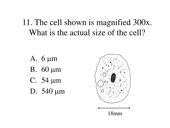 11. The cell shown is magnified 300x.