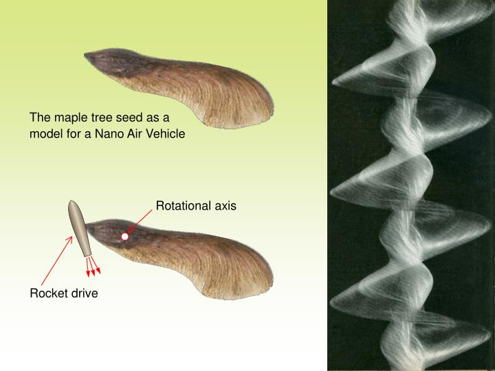 The maple tree seed as a