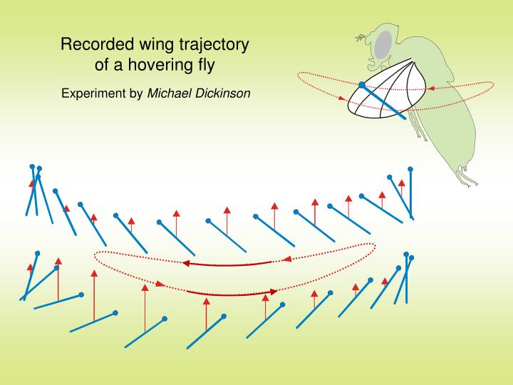 Recorded wing trajectory of a hovering fly