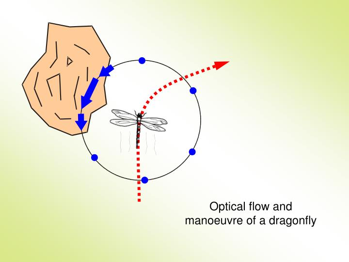 Optical flow and manoeuvre of a dragonfly
