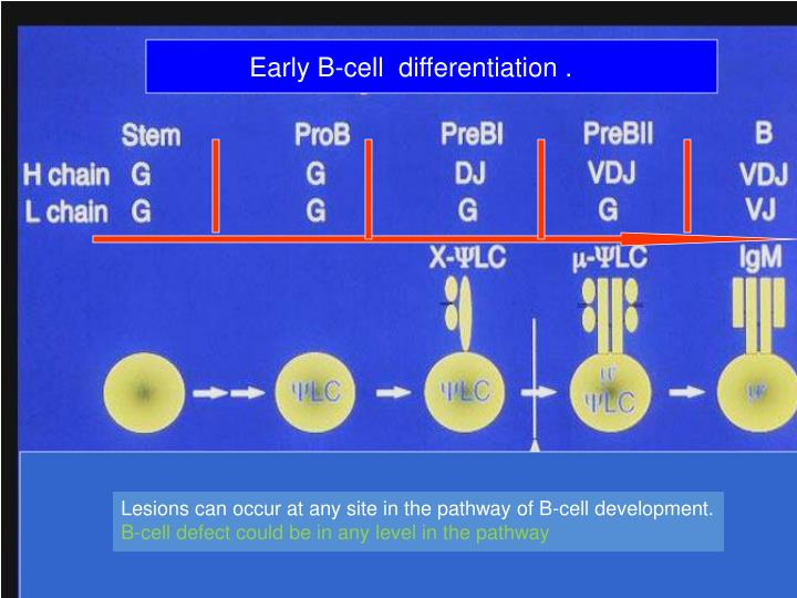 Early B-cell  differentiation .
