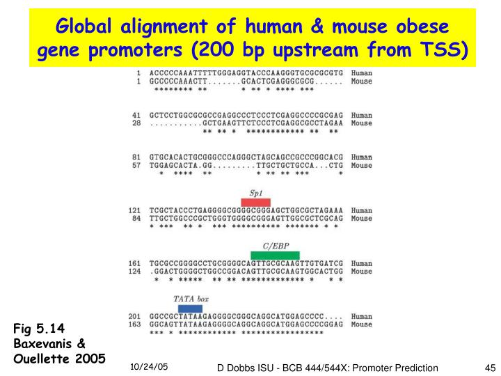 Global alignment of human & mouse obese gene promoters (200 bp upstream from TSS)