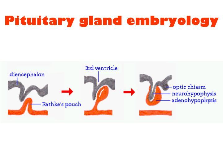 Pituitary gland embryology