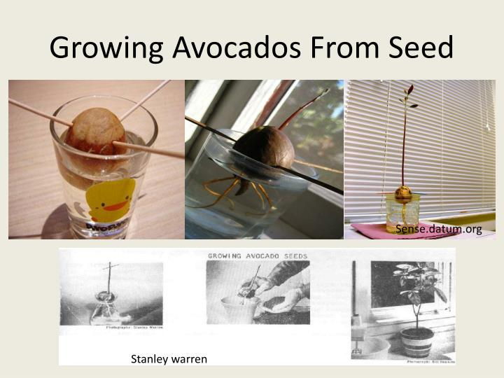 Growing Avocados From Seed