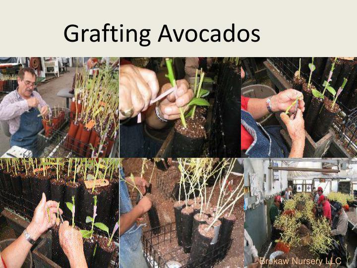 Grafting Avocados