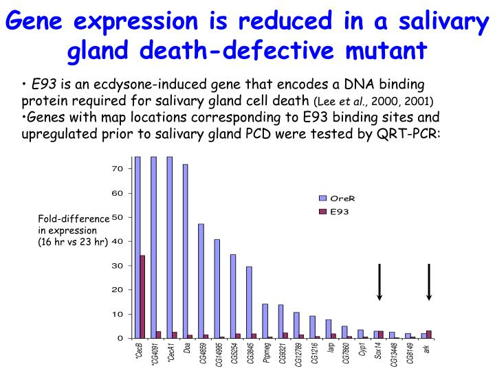 Gene expression is reduced in a salivary gland death-defective mutant