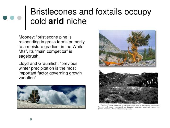 Bristlecones and foxtails occupy cold