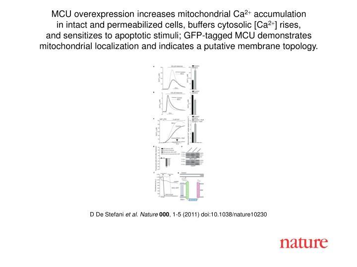 MCU overexpression increases mitochondrial Ca