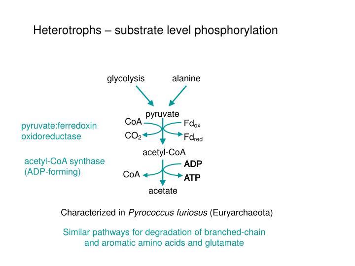 Heterotrophs – substrate level phosphorylation