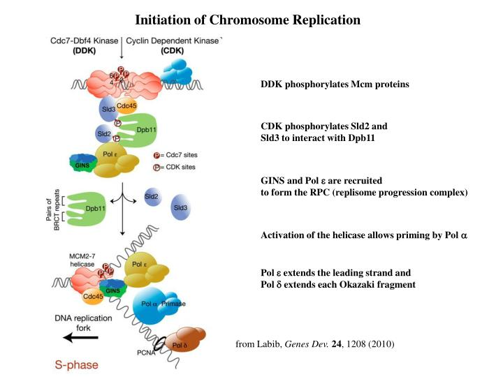 Initiation of Chromosome Replication