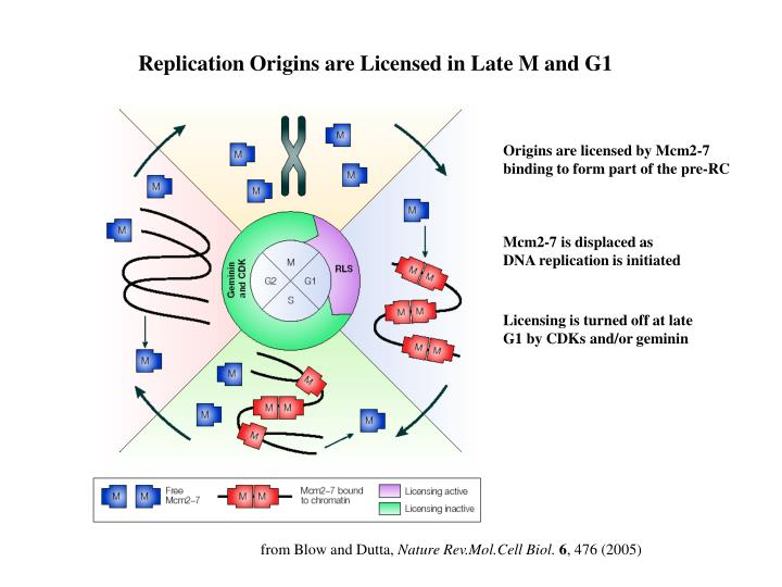 Replication Origins are Licensed in Late M and G1