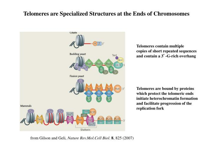 Telomeres are Specialized Structures at the Ends of Chromosomes