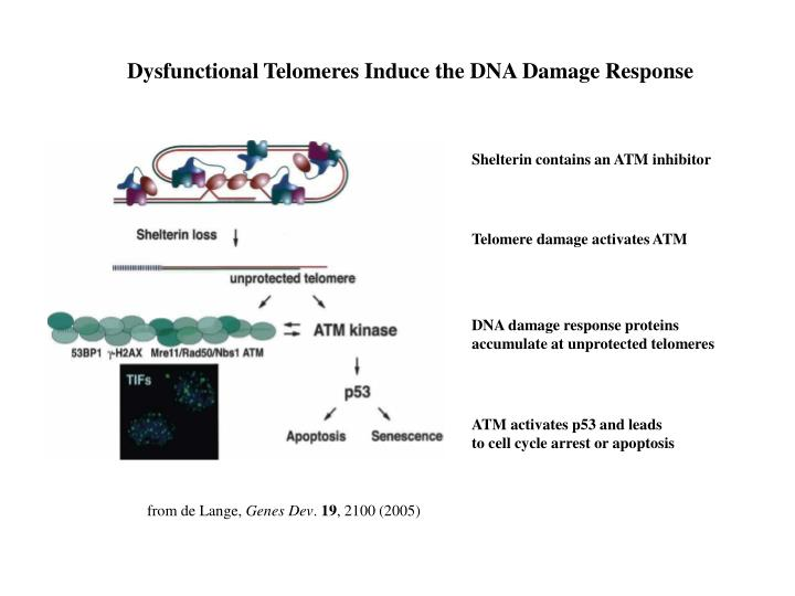 Dysfunctional Telomeres Induce the DNA Damage Response