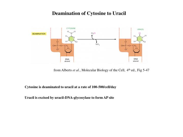 Deamination of Cytosine to Uracil
