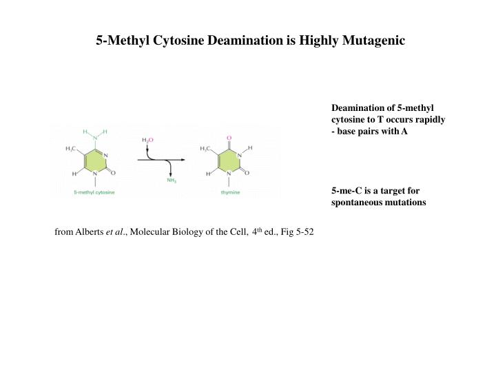 5-Methyl Cytosine Deamination is Highly Mutagenic