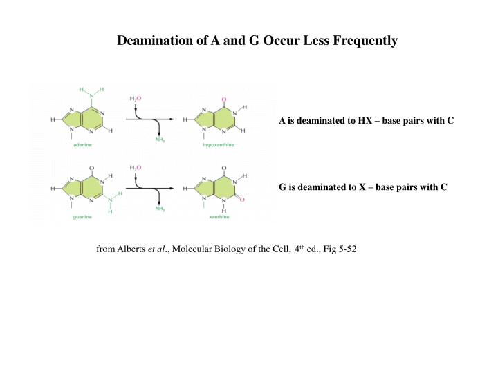 Deamination of A and G Occur Less Frequently