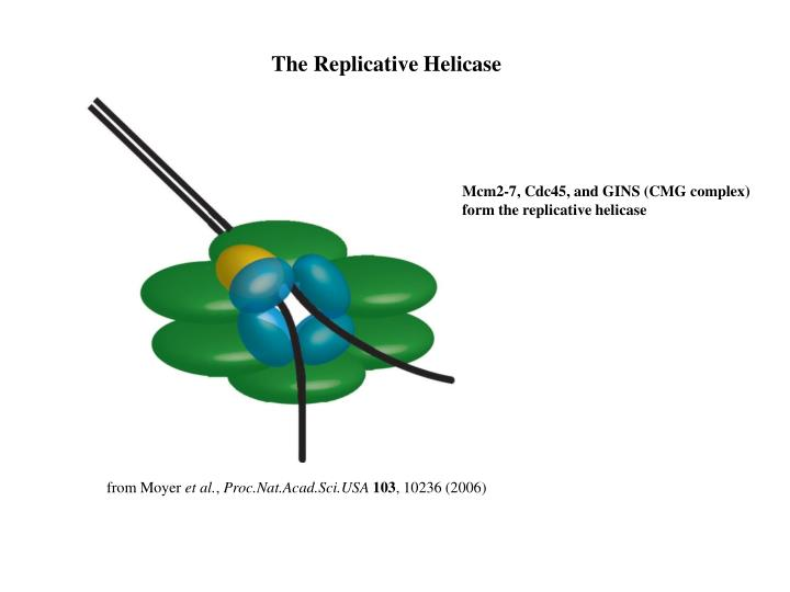 The Replicative Helicase