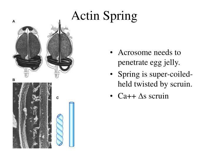 Actin Spring