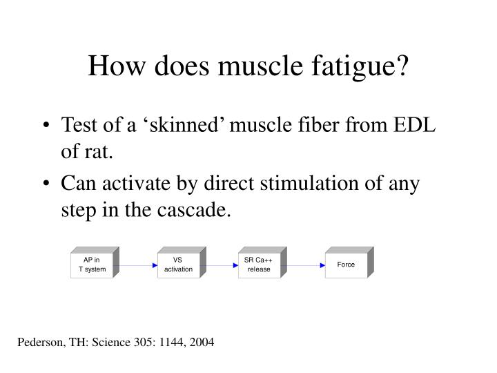 How does muscle fatigue?