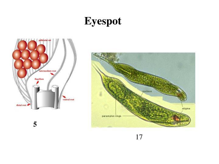 Eyespot