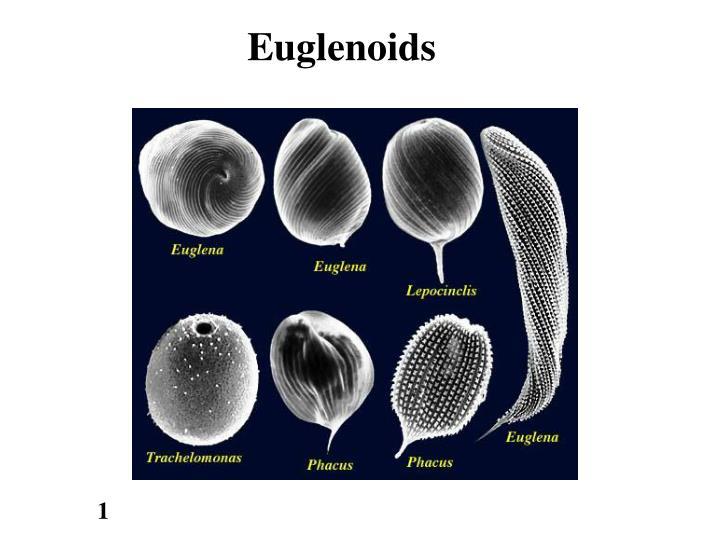 Euglenoids