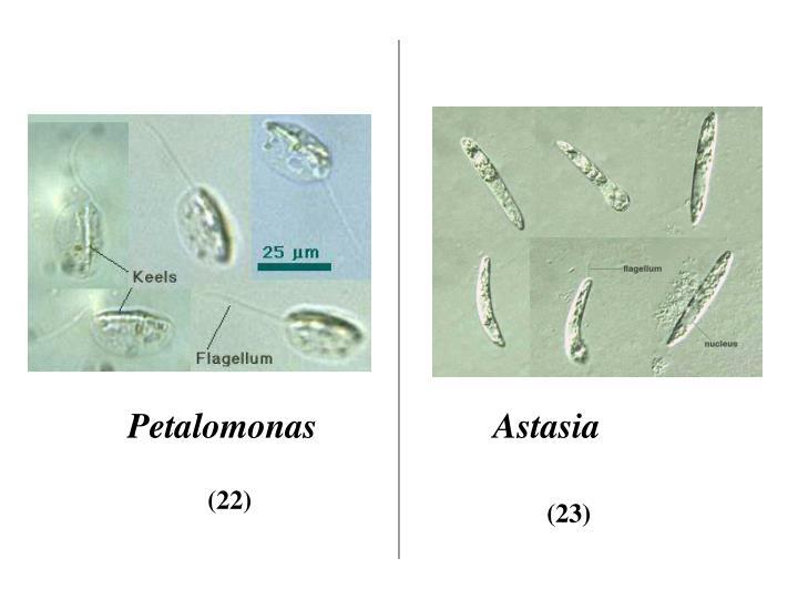 Petalomonas