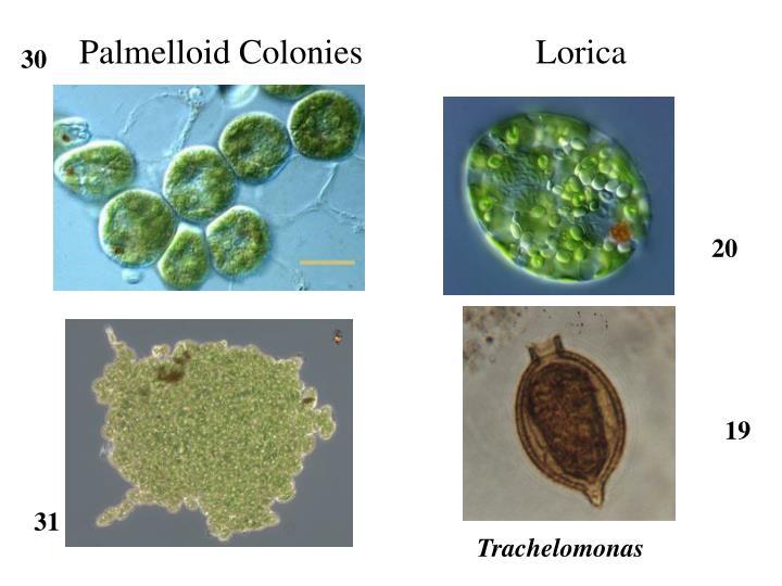 Palmelloid Colonies