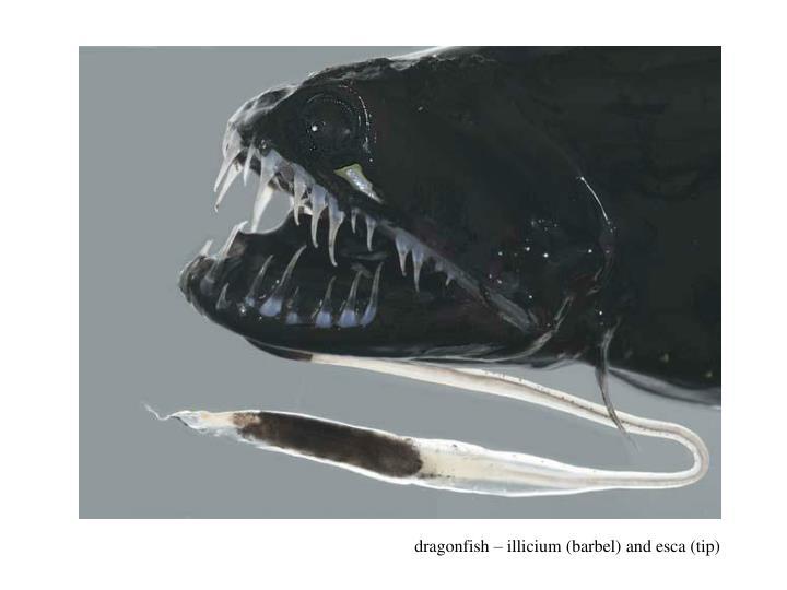 dragonfish – illicium (barbel) and esca (tip)