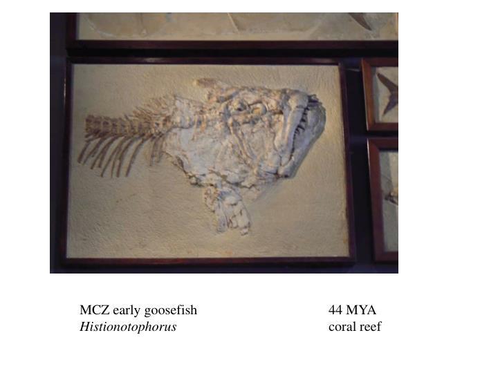 MCZ early goosefish 44 MYA