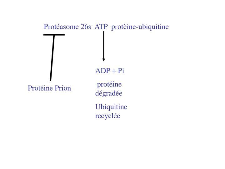 Protéasome 26s  ATP  protèine-ubiquitine
