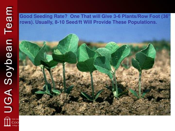 """Good Seeding Rate?  One That will Give 3-6 Plants/Row Foot (36"""" rows). Usually, 8-10 Seed/ft Will Provide These Populations."""